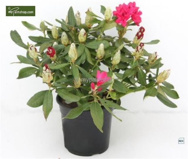 Rhododendron Nova Zembla 5 Ltr