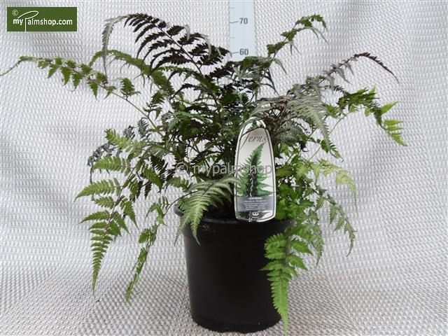 Athyrium niponicum Metallicum 5 ltr