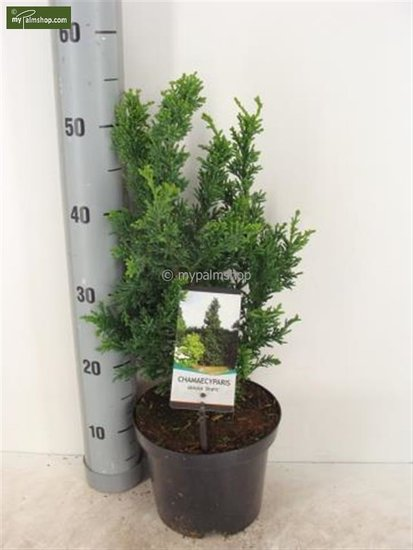 Chamaecyparis obtusa Draht 3 ltr