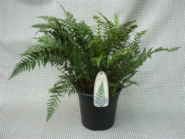 Polystichum tsus-simense 5 ltr