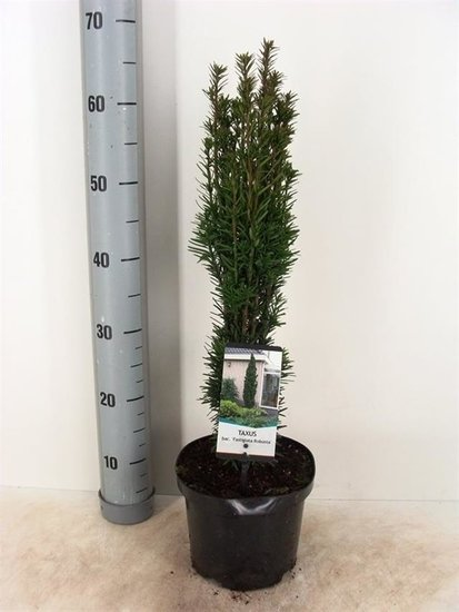 Taxus baccata Fastigiata Robusta 3 ltr
