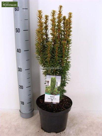 Taxus baccata David 3 ltr