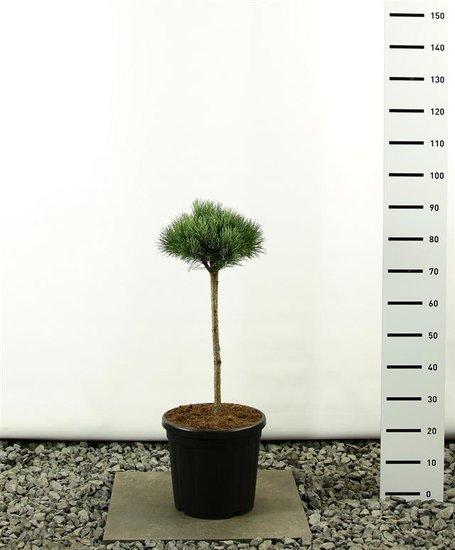 Pinus sylvestris Watereri Kugel auf Stamm