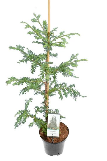 Sequoia sempervirens 3 ltr