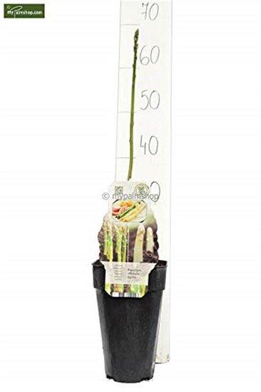 Asparagus gijnlim officinalis