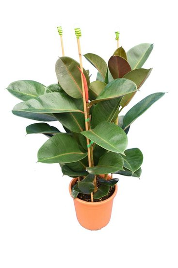 Ficus elastica Robusta Topf Ø 25 cm