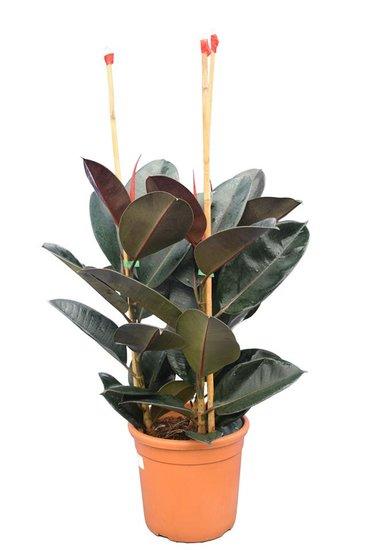 Ficus elastica Abidjan Topf Ø 25 cm