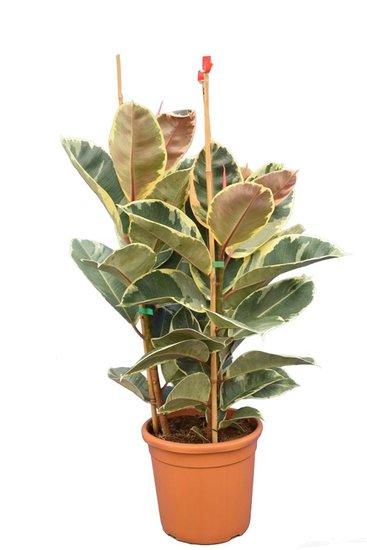 Ficus elastica Tineke topf Ø 25 cm