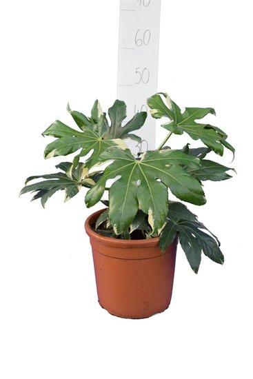 Fatsia japonica Variegata Topf Ø 26 cm