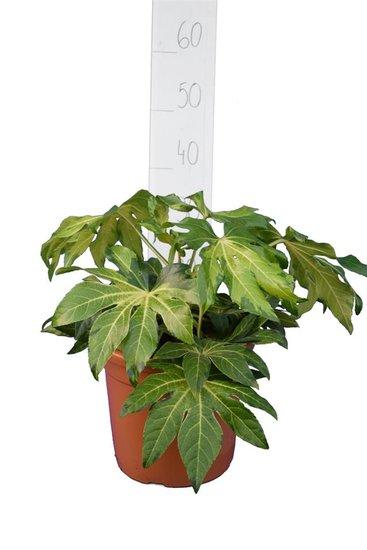 Fatsia japonica Annemie topf Ø 26 cm
