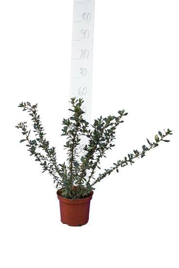 Escallonia rubra Macrantha Topf Ø 18 cm