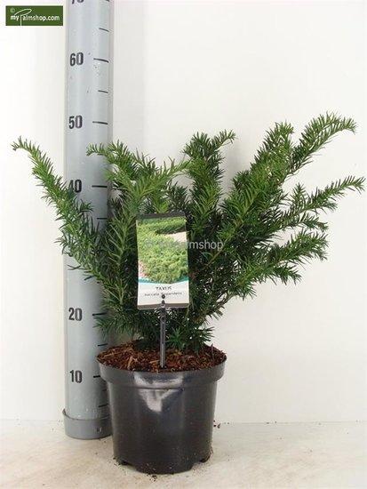 Taxus baccata Repandens Topf Ø 19cm