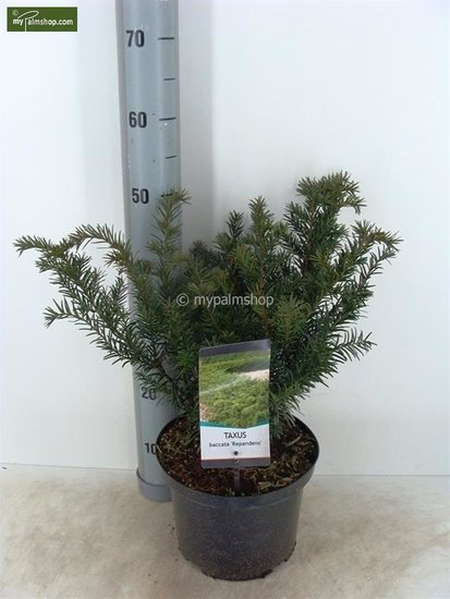 Taxus baccata Repandens Topf Ø 23cm