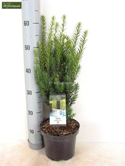 Taxus media 'Hillii' Topf: Ø 19cm