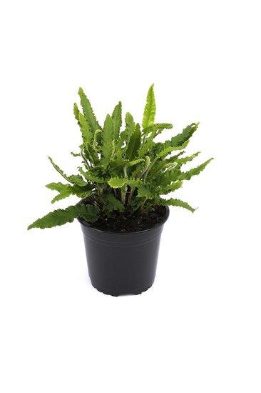 Asplenium scolopendrium Angustifolia