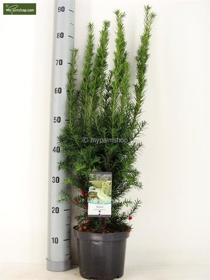 Taxus media 'Hicksii' Topf: Ø 19cm