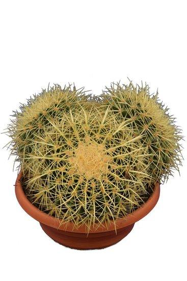 Echinocactus grusonii Multihead Topf Ø 28 cm