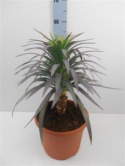 Yucca aloifolia Purpurea Topf Ø 26cm
