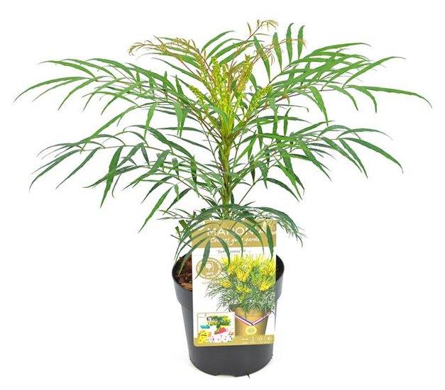 Mahonia eurybracteata Soft Caress Topf Ø 13 cm