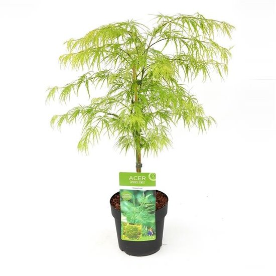 Acer palmatum Dissectum - Topf Ø 19cm - 3 Ltr