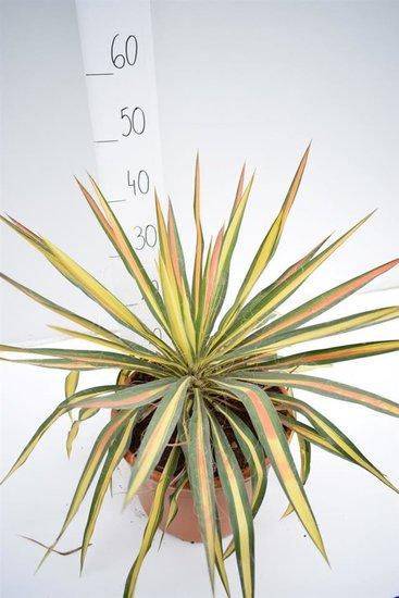 Yucca filamentosa Bright Edge Topf Ø 27cm