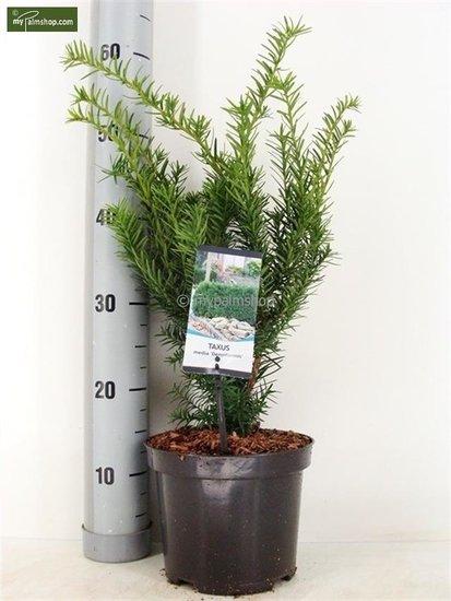 Taxus media Densiformis Topf: Ø 19cm