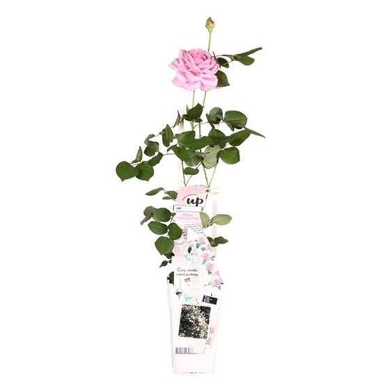Rosa Crazy in Love climbers Rosa 2 ltr