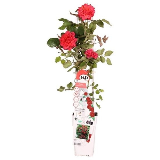 Rosa Crazy in Love climbers Rot 2 ltr