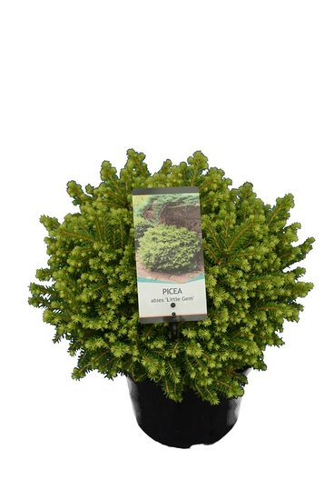 Picea abies Little Gem 3 ltr