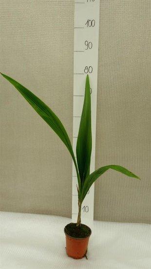 Syagrus romanzoffiana sp. Santa Catarina Topf Ø 14 cm