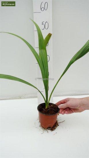 Sabal palmetto Topf Ø 13 cm