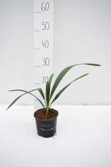 Sabal bermudana Topf Ø 13 cm