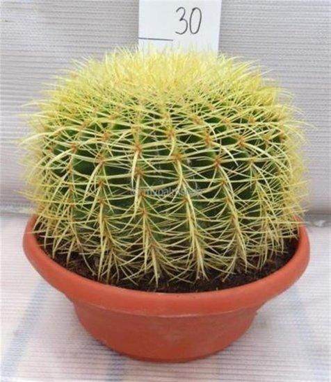 Echinocactus grusonii Ø 25 cm Topf