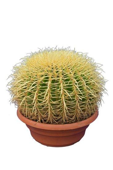 Echinocactus grusonii Topf Ø 32 cm
