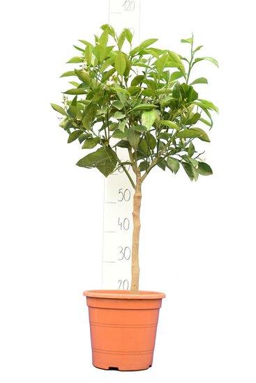 Citrus sinensis Stamm 30-40cm