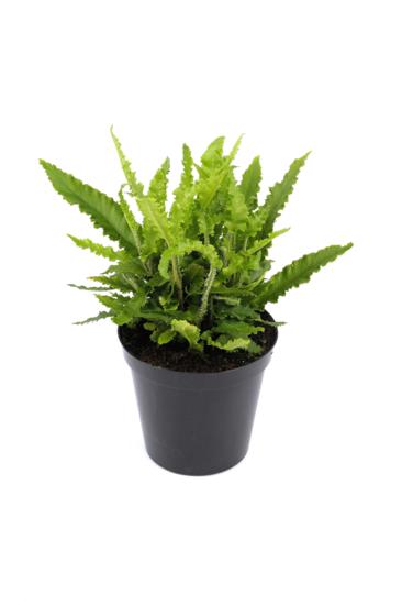 Asplenium scolopendrium Angustifolia Topf 0,7 ltr