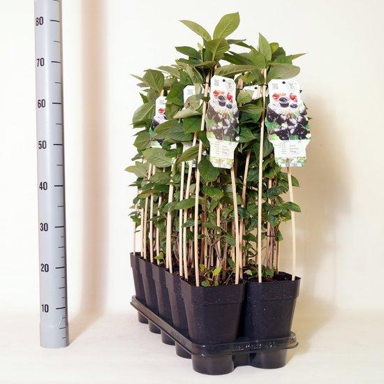 Aronia prunifolia 'Viking' 2 ltr