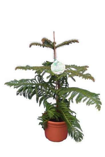 Araucaria heterophylla Gesamthöhe 80-100 cm