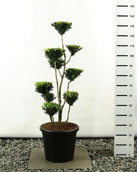 Buxus sempervirens multiplateau 125-150 cm
