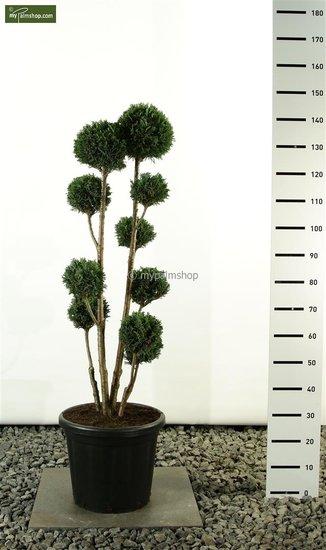Chamaecyparis lawsoniana Elwoodii Multibol Gesamthöhe 100- 125cm