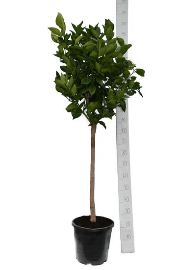 Citrus sinensis Topf Ø 35 cm