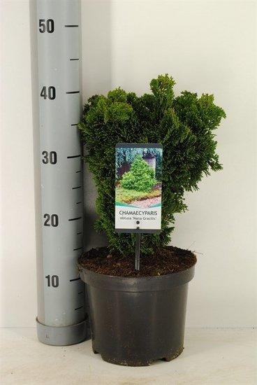 Chamaecyparis obtusa `Nana Gracilis´ Topf Ø 19cm - 3 ltr
