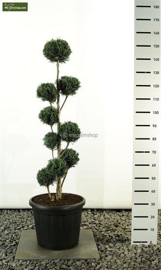 Chamaecyparis lawsoniana Columnaris Multibol - Gesamthöhe 125-150cm