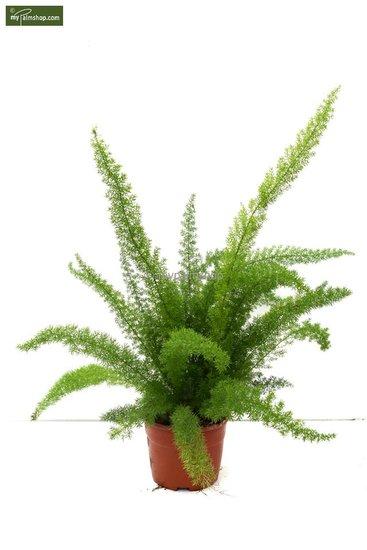 Asparagus meyeri pot: Ø 18cm Gesamthöhe: 60- 70cm