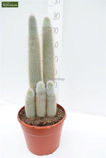 Cleistocactus strausii Topf: Ø 32cm