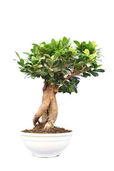 Ficus marcrocarpa Compacta Ginseng Topf Ø 23 cm