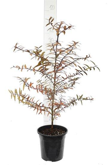 Agathis australis 7 ltr