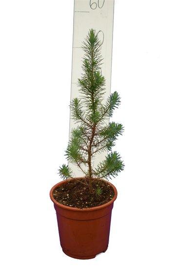 Pinus pinea Topf Ø 17 cm