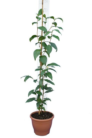 Camellia chinensis Topf Ø 23 cm gesamthöhe 100-120 cm
