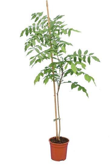 Millettia japonica Topf Ø 17 cm